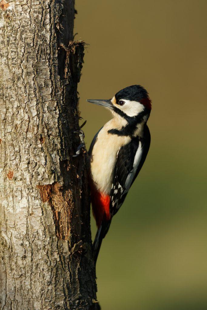 Le mâle pic épeiche à la base de sa calotte rouge