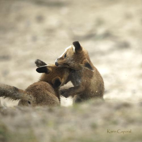 Jeux de renardeaux
