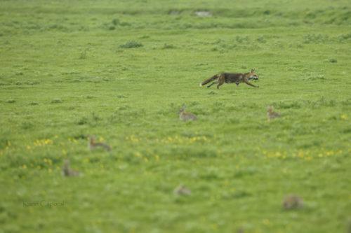 Le renarde rentre la gueule pleine