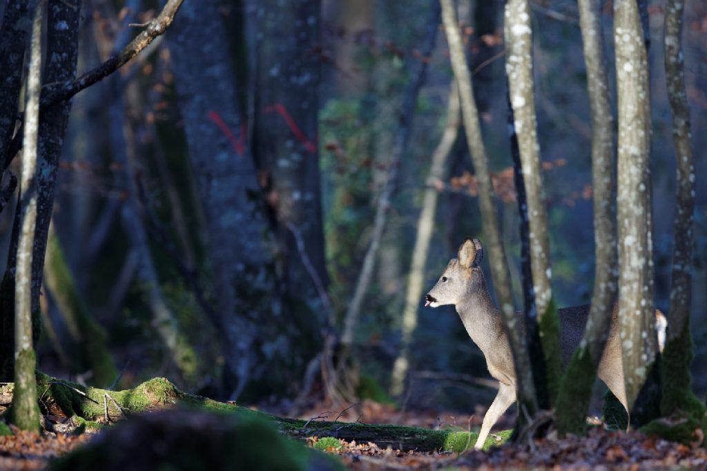 Chevrette dans les bois