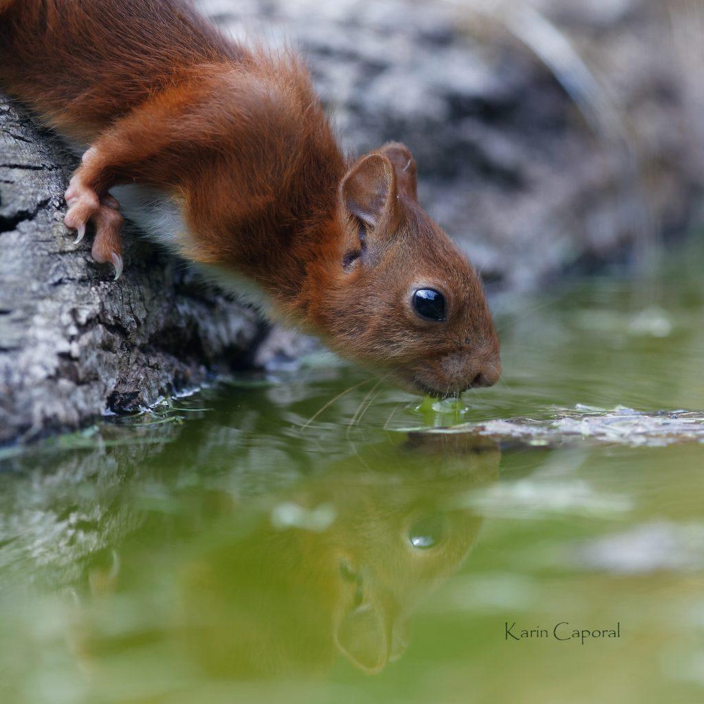 l'écureuil boit
