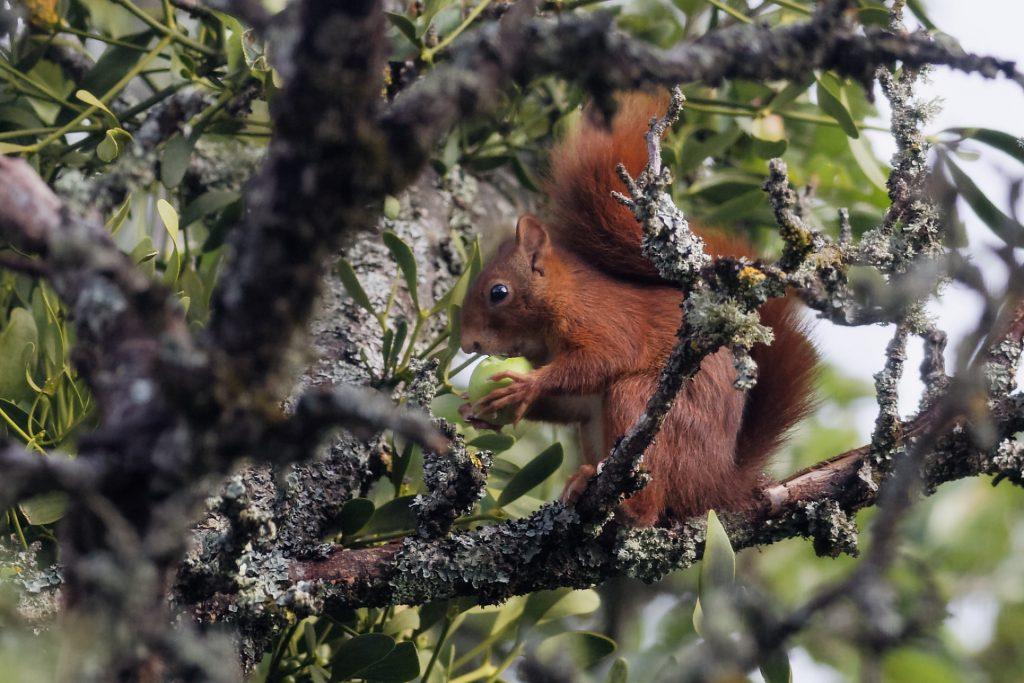 L'ecureuil mange des pommes