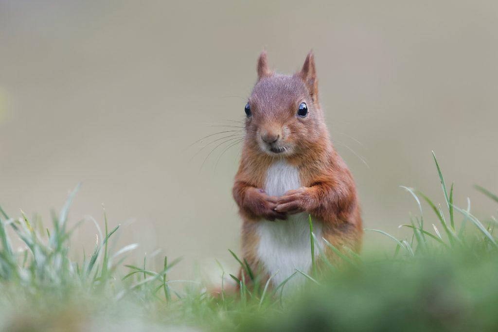 L'écureuil a de longues griffes