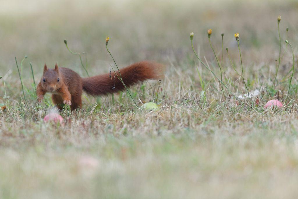 l'écureuil traverse le verger