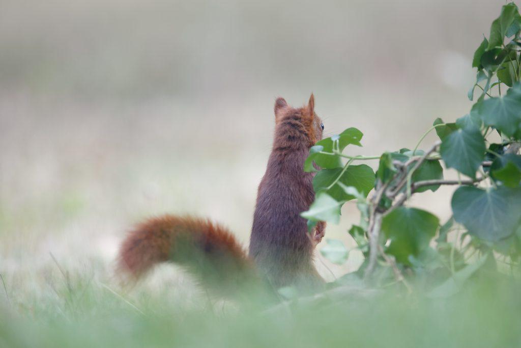 L'écureuil regarde vers la forêt