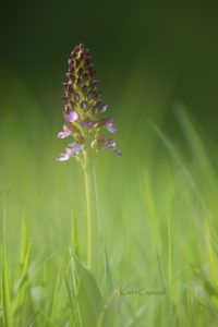 Orchidée pourpre