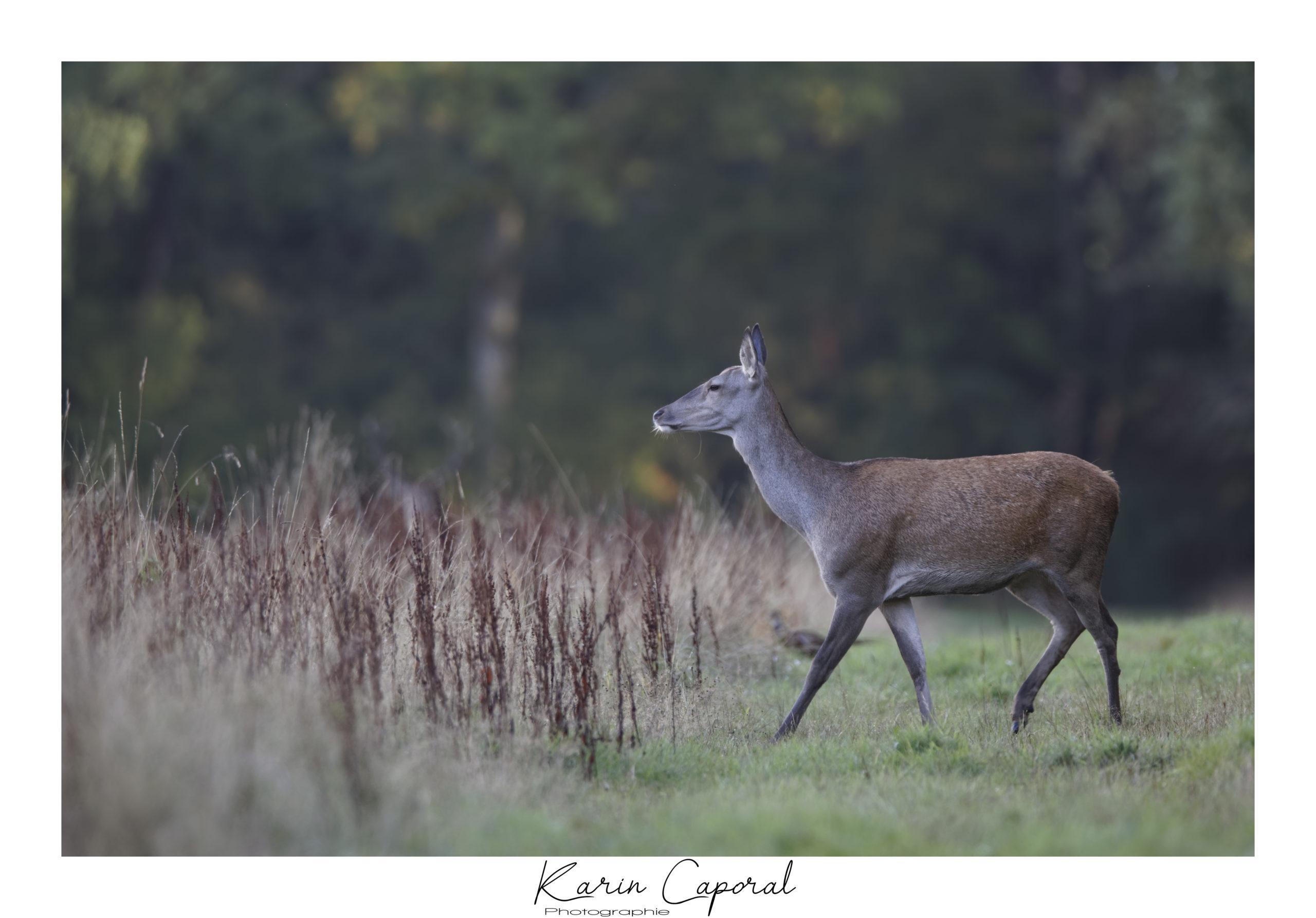 La biche entre dans les hautes herbes