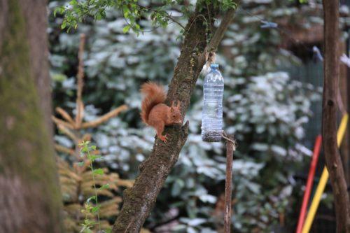 Écureuil à la mangeoire du jardin
