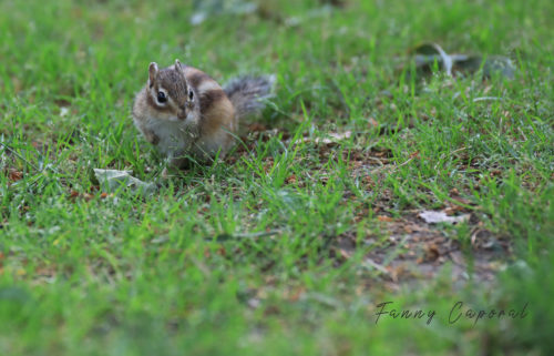 Tamia sur la pelouse