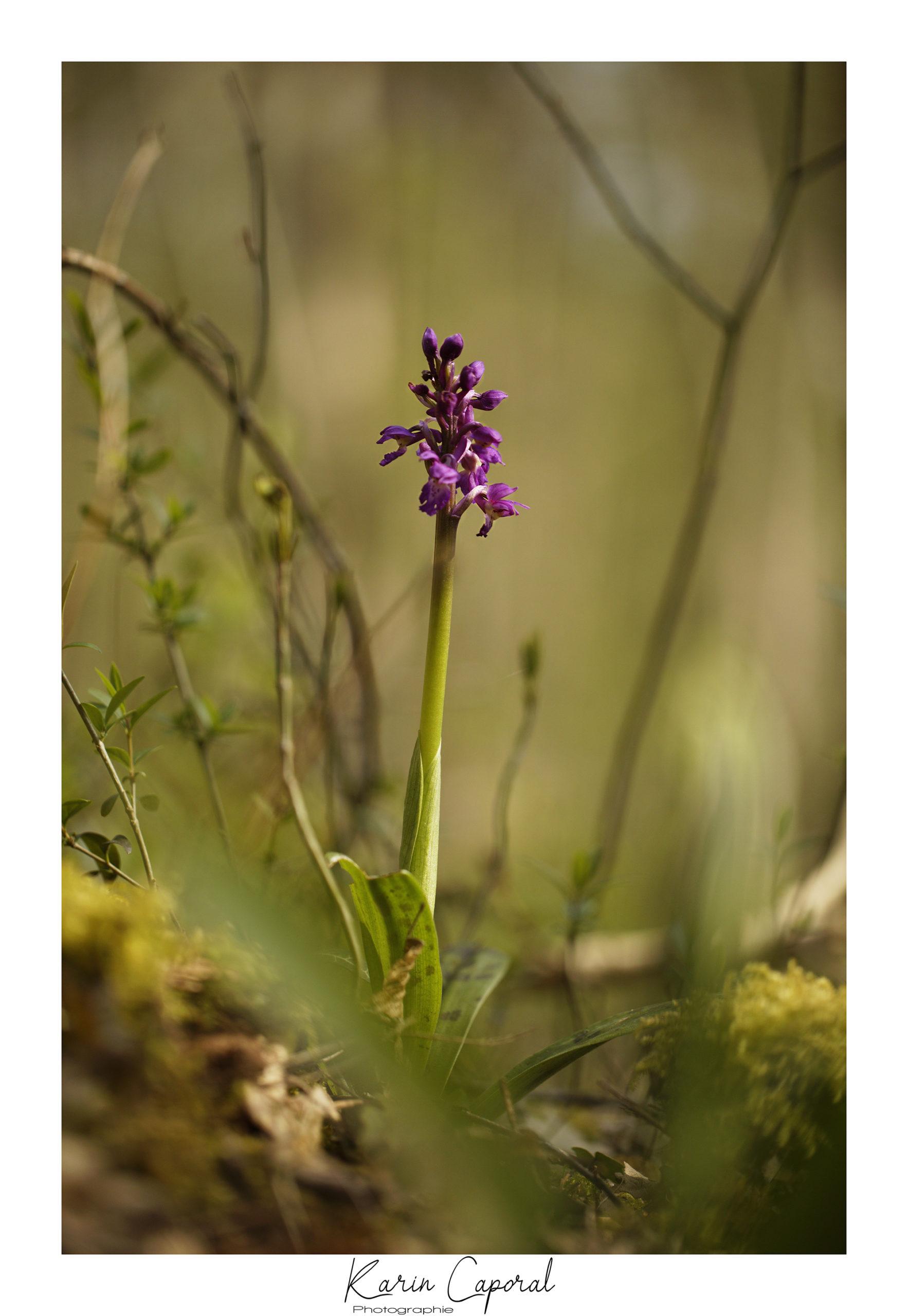 Orchidée Mâle